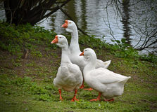 Гусыни в парке на пруде Стоковое фото RF