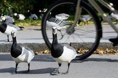 Гусыни в парке перед bikeway велосипедистом Стоковое фото RF