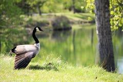Гусыни в парке Стоковая Фотография RF