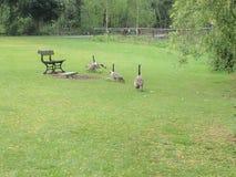 Гусыни в парке Стоковое фото RF