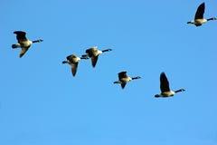Гусыни в полете, Северная Америка Канады Стоковые Изображения