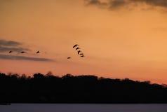 Гусыни в полете Стоковая Фотография