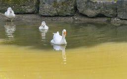 Гусыни в пруде Стоковая Фотография RF