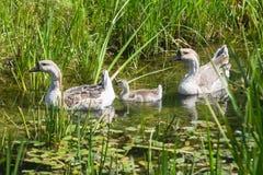 3 гусыни в пруде Стоковая Фотография