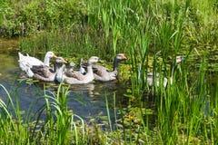 Гусыни в пруде Стоковое Фото