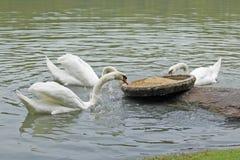 Гусыни в пруде Стоковое фото RF