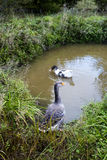 Гусыни в пруде Стоковые Фотографии RF