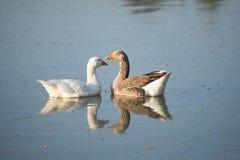 2 гусыни в реке Стоковая Фотография