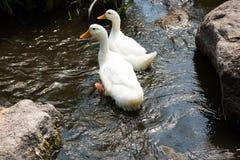 2 гусыни в реке Стоковая Фотография RF