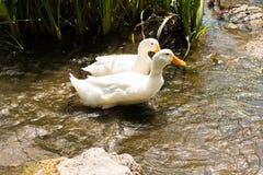 2 гусыни в реке Стоковые Фото