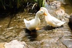 2 гусыни в реке Стоковое Изображение RF