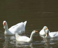 Гусыни в реке Стоковая Фотография RF