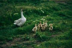 Гусыни в траве на луге, утки, утята, деревня, поголовье Стоковые Изображения