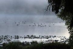 Гусыни в тумане утра Стоковые Изображения RF