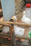 Гусыни в aviary Стоковые Изображения RF