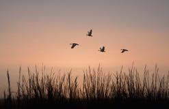 Гусыни в fligh на зоре Стоковая Фотография RF
