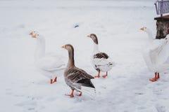 Гусыни гуляя через снег в деревне стоковое фото