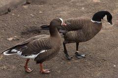 Гусыни гуляя в парке Стоковые Фото