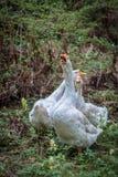 Гусыни гуляя на луге Стоковое Фото