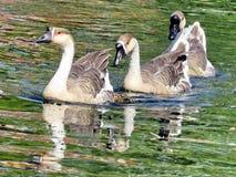 Гусыни 2016 лебедя озера Торонто китайские Стоковые Изображения RF