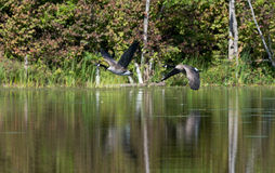 2 гусыни летают через спокойное озеро Стоковая Фотография RF