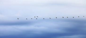 Гусыни летая в образование против неба вечера Стоковые Изображения RF