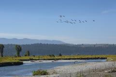 Гусыни летая над рекой вилки буйвола, северным Jackson Hole, Wyo Стоковые Изображения RF