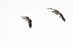 2 гусыни летая против белой предпосылки Стоковые Изображения
