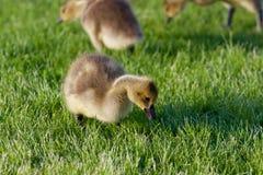 Гусыни детенышей кудахча на траве Стоковая Фотография RF