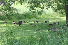 Гусыни и гусята Канады на траве Стоковые Фото