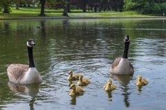 Гусыни и гусята на озере Стоковые Фото