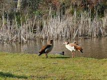 Гусыни и простофиля Нила на пруде Стоковое фото RF