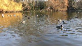 Гусыни и другие птицы плавают в пруде сток-видео