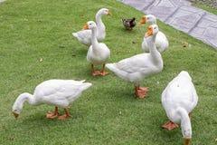 Гусыни и утка идя в траву, внешнюю съемку Стоковое Фото