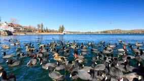 Гусыни и утки на наконечнике озера стоковое изображение rf