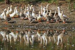 Гусыни и утки на озере Стоковое Фото