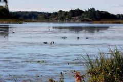 Гусыни и утки подавая на Реке Святого Лаврентия Стоковые Изображения