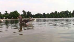 Гусыни и утки плавая на озере акции видеоматериалы