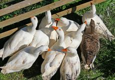 Гусыни и утки с апельсином клюва на ферме 6 Стоковое Фото