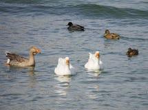 Гусыни и утки Стоковое Фото