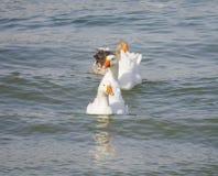 Гусыни и утки Стоковое фото RF