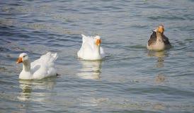 Гусыни и утки Стоковые Изображения RF