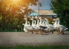 Гусыни идут вниз на улицу в деревне Стоковые Фотографии RF