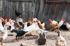 Гусыни и цыпленок на ферме Стоковая Фотография