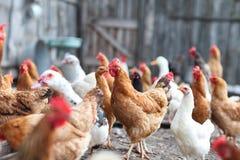Гусыни и цыпленок на ферме Стоковое фото RF