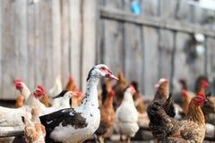 Гусыни и цыпленок на ферме Стоковое Фото