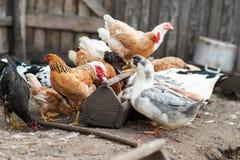 Гусыни и цыпленок на ферме Стоковые Фотографии RF