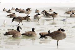 Гусыни и чайки на льде Стоковые Фотографии RF