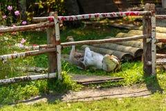 Гусыни идя на улицу и едят траву Стоковая Фотография RF