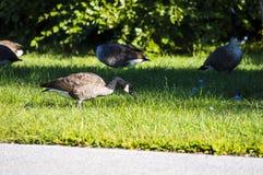 Гусыни идя стороной дороги ища еда Стоковое Фото